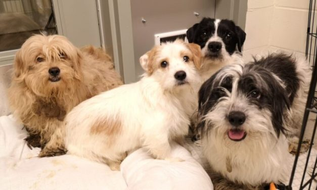 119 Small Dogs Surrendered Into BC SPCA Care