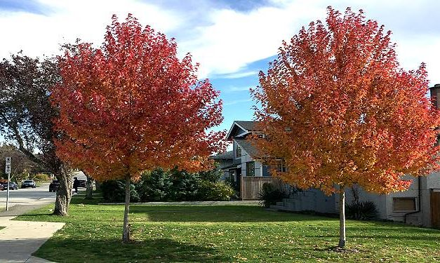 City of Burnaby Offers Residents Trees4Free